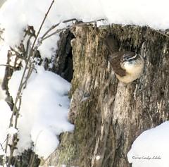 Yeah, George, but not THAT warm. (Carolyn Lehrke) Tags: winter snow cold nature birds woods wildlife wv stump wren carolinawren greenbriercounty ronceverte