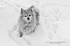 The Bear in the Snow.. (milleniumxgirl) Tags: bear new york winter dog snow ny storm yard canon island pom long play little pomeranian bulldozer