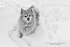 The Bear in the Snow.. (milleniumxgirl) Tags: bear new york winter dog snow ny storm yard canon island pom long play little pomeranian bulldozer