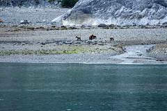 _MG_4215a (markbyzewski) Tags: alaska cub ugly brownbear grizzlybear glacierbaynationalpark