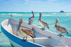 Pelicans in the Sun (Scott Prokop Photography) Tags: ocean blue sea summer sky seagulls white bird nature water beautiful animal del mexico island boat paradise turquoise wildlife seagull playadelcarmen playa pelican resort photoblog perch tropical tropic caribbean carmen