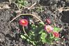 spring_0036 (Peter-Williams) Tags: uk flowers garden sussex brighton crocus tulip daffodils carmelia paviliongardens oark