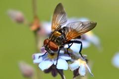 DSC_1736 (sylvette.T) Tags: macro fly mouche 2014 nikond5100 objectif70200sigma