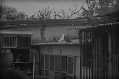 Palomar V (www.luxetpix.com) Tags: blanco y negro m42 zenit palomas montevideo palomar 2870mm