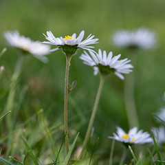 Daisies in May (gilliesavo) Tags: sun macro green beauty grass sunshine daisies garden golden petals may simple