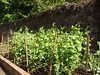 (verusca.calabria) Tags: green nature volunteers sunny growth soil environment marketgarden