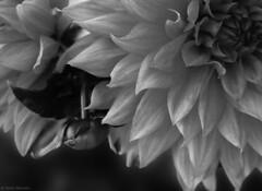chrysanthemum (salar hassani) Tags: blackandwhite flower sony chrysanthemum salar hassani rx100m3