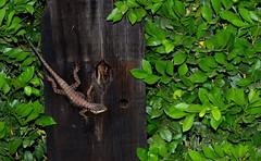 Just Do It (fabrcosta) Tags: lagarto lizard justdoit