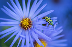 Cucumber Beetle (Matt Williams Gallery) Tags: mattwilliamsphotography nikon d500 macro beetle cucumberbeetle flower blue nature naturallight naturephotography closeup bokeh beautiful vibrant wildflower insect bug fineart fineartphotography green yellow