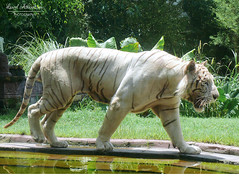 White Tiger (Pandymonium) Tags: tiger tigers whitetiger animal wildanimal zoo zooanimals animallover bigcat cat travel travelphotography travelphotos