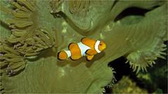 Anemone with common clownfish (Foto Martien) Tags: commonclownfish nemo ocellarisclownfish falseperculaclownfish clownanemonefish westernclownfish orangeclownfish driebandanemoonvis harlekijnvisje clownvis falscheclownfisch orangeringelanemonenfisch poissonclownàtroisbandes poissonclownocellé pezpayaso falsopezpayasopercula pescepagliaccio amfiprionplamisty błazenekokoniowy damselfish puller kakurekumanomi badut bombin gombing inggu rombin 眼斑海葵鱼 眼斑双锯鱼 眼斑雙鋸魚 眼斑海葵魚 obyknovennayarybkakloun taunglanagan ikangiruocellaris amphiprionocellaris anemonefish clownfish seaanemone symbiosis symbiose eastasia southeastasia westernpacific southchinasea japan taiwan indonesia singapore malaysia thailand vietnam china philippines australia tropicalfish seafish aquarium fishtank polychrome color colour colorfull tank minolta9000 analogue dia slide scan scanedpicture netherlands nederland holland dutch martienuiterweerd fotomartien