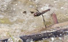 Common Whitetail Dragonfly -- Female (Plathemis lydia); Albuquerque, NM, Tingley Ponds Park [Lou Feltz] (deserttoad) Tags: nature insect pond park dragonfly whitetail newmexico odonate