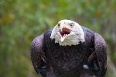 Eagle Scream (jeff_a_goldberg) Tags: americanbaldeagle baldeagle nature outofchicago wisconsin milwaukee schlitzaudubonnaturecenter raptor eagle fall bayside unitedstates us