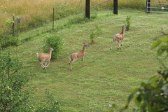 Deer in the yard (grandpaspix) Tags: garden iowa sony a100 35561870mm