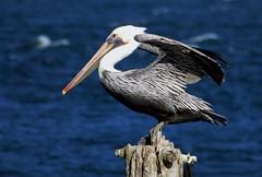 Brown Pelican (linda long) Tags: birds avian pelican brownpelican waterbirds seabirds wildlife nature oregon hammondbasin pacificnorthwest