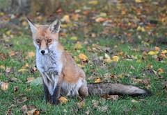fox (boggled) Tags: fox grangepark oldcoulsdon nikond5500 nikon tamron18200mm