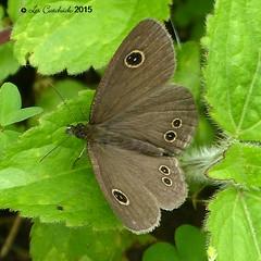 Nilgiri  four-ring ? (LPJC) Tags: butterfly munnar kerala india 2015 lpjc nilgirifourring endemic ypthimachenu