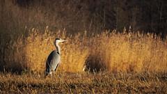 Overviews my territory (jurgenkubel) Tags: bird vogel fågel heron häger reiher ardeidae