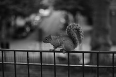 Squirrel (phrada_kendi) Tags: squirrel animal animals wild wildlife park shoreditch london uk england blackandwhite nikon nikkor bokeh nikkor14 d7100 nikond7100