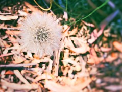 I look a hundred wishes with dandelion. (Alphie Chen) Tags: dandelion wish hope hopesanddreams fragility nature beautyinnature flower iphone5s iphonephotography
