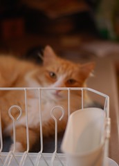 Auto focus gone wrong (rootcrop54) Tags: jimmy male orange ginger tabby cat boy dish drainer autofocus