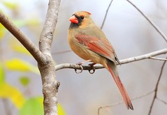 northern cardinal female at Goose Island WS 854A3649 (lreis_naturalist) Tags: northern cardinal female goose island wisconsin larry reis