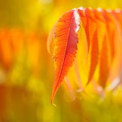 Fall is the spring of winter (Karsten Gieselmann) Tags: bltter bokeh czjpancolar50mmf18 dof em5markii farbe format gelb herbst jahreszeiten kamera microfourthirds objektiv olympus orange rot schrfentiefe vintagelens autumn color fall kgiesel m43 mft red seasons yellow