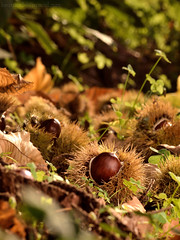 In an endearing place... (Beatriz-c) Tags: chestnuts castaas nature naturaleza otoo autum green verde dorado sun goldent sol atardecer sunset