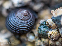 Walnut Whip (JKmedia) Tags: northwales anglesey beech sheets shore rock shells tiny macro ef100mmf28lmacroisusm small 2016 boultonphotography canoneos5dmkiii attached barnacle closeup micro world nature
