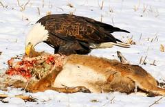 bald eagle eating venison near Decorah Fish Hatchery IA 854A4104 (lreis_naturalist) Tags: bald eagle eating venison decorah fish hatchery winneshiek county iowa larry reis