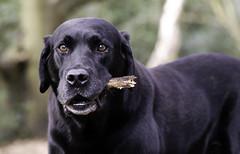 Buddy (Chris Johnston Photography) Tags: buddy labrador blacklab dogs pets pentax k1 pentaxk1 100mm