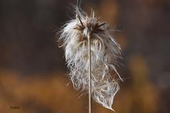 Fleur sauvage dans la tourbière - Wildflower in the Alfred Bog_3760 (Judith Lessard) Tags: tourbière bog tourbièredalfred alfredbog fleursauvage wildflower