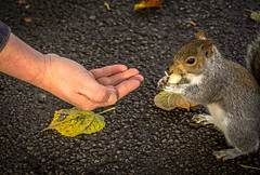 Don't bite the hand that feeds. (Ian Emerson) Tags: squirrel feeding tame nuts wildlife autumnal leaves hand cute outdoor