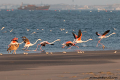 Pandemonium! (Peter R Steward) Tags: 6places namibia pelicanpoint walvisbay exif:aperture=ƒ80 camera:model=canoneos70d camera:make=canon exif:lens=tamronsp150600mmf563divcusda011 exif:isospeed=640 geolocation exif:focallength=329mm exif:model=canoneos70d exif:make=canon