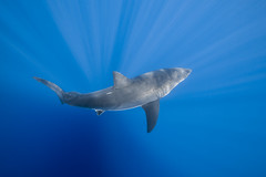 A view from above (George Probst) Tags: greatwhiteshark tiburonblanco blue water underwater wildlife