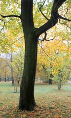 047-IMG_6654 (hemingwayfoto) Tags: ahorn baum englischergarten flickr georgengarten hannover herbst herbstbaum herbstlaub herrenhusergrten landeshauptstadt landschaftsgarten park