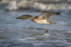 Curlew - Broadstairs (JohnSDraper) Tags: broadstairs