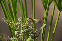 ape (giuseppecozzolino1) Tags: ape insetto miele bee honey insect bug erba pianta animale