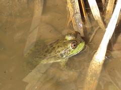Frog - Arizona by SpeedyJR (SpeedyJR) Tags: 2016janicerodriguez sweetwaterwetlands tucsonaz frog nature tucsonarizona arizona speedyjr