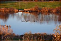 Bussy Saint Georges - Seine et Marne - Ile-de-France (baladeson) Tags: tang reflets lumire automne pond reflects light autumn oiseaux birds