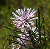 Pixie mops (HPVD Photos) Tags: pixiemops petrophilelinearis wildflowers westernaustralia nativeplants flora flowers canon 11250s f13 iso800 fl227mm