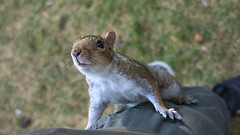 Feed Me Feed Me (fotojak1) Tags: squirrel rodent animal wildlife edinburghsquirrels edinburghsroyalbotanicgarden scotland outdoor outside autumn november2016 handheld nikond7100 sigma18200mm johnritchie f45at1640 iso1400