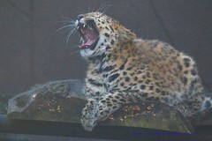 It's Been A Hard Days Night.... (law_keven) Tags: leopards leopard amurleopard cats bigcats twycrosszoo zoo zoolology animals engdangered pantherapardusorientalis criticallyendangered