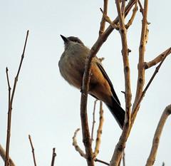 Say's phoebe (carpingdiem) Tags: birds palmsprings