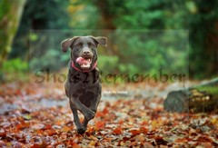 Running to my family (ShotsOfMarion) Tags: flickr shotsofmarion shots2remember dog hond hund perro cane chien nikon labrador chocoladebruinelabrador chocolatebrownlabrador dogphotography hondenfotografie bosgebied forestarea dier huisdier pet petphotography animal thiere
