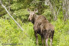 Cow Moose (LisaHufnagel) Tags: nature photography nikon bc britishcolumbia moose columbia british northern northernbc alcesalces 70200mmf28 d7000