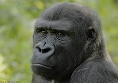 Gorilla 'Matadi' (gentle lemur) Tags: gorilla paigntonzoo gggorilla