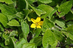 Chrysogonum virginianum - BG Utrecht (Ruud de Block) Tags: utrecht tuin asteraceae chrysogonumvirginianum compositae botanische utrechtbotanicalgarden