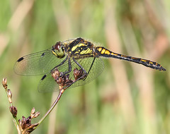Black Darter male - Sympetrum danae (Roger H3) Tags: black insect dragonfly darter odonata