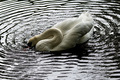 Swan (gauravs82) Tags: white lake bird water beauty swim pen neck swan pond waves quiet bright beak serene ripples aquatic waterfowl knob cob graceful mute cygnus cignet